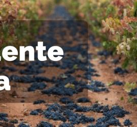 excedente de uva