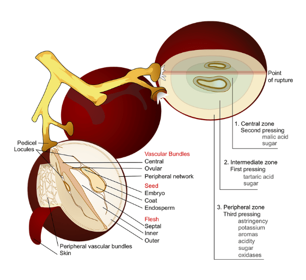 las partes de la uva