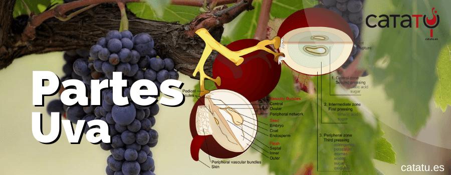 partes uva